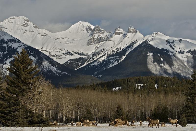 Elk, Banff National Park
